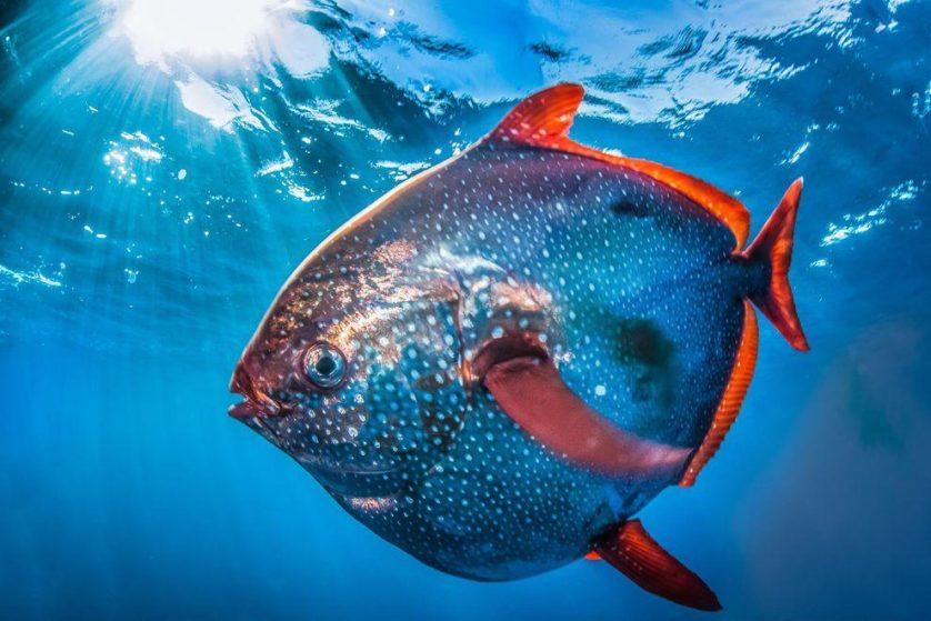 peixe opah sangue quente