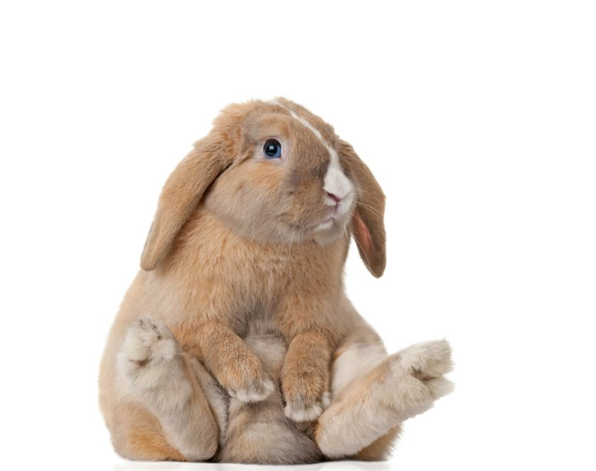little bunny sitting