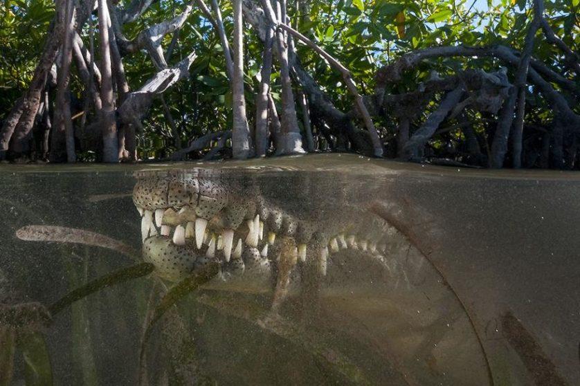 Sua vez: crocodilo americano, Jardines de la Reina, Cuba
