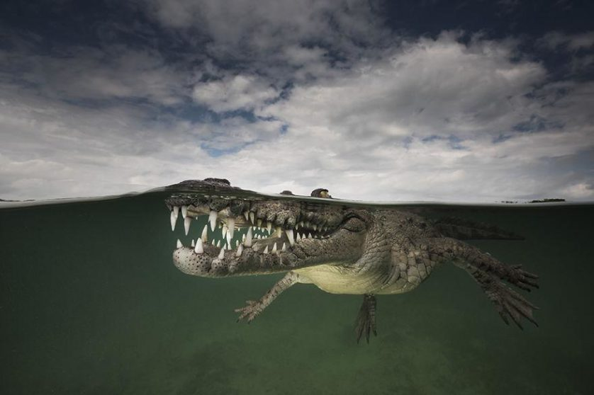 Assassino sorrindo: crocodilo americano, Jardines de la Reina, Cuba