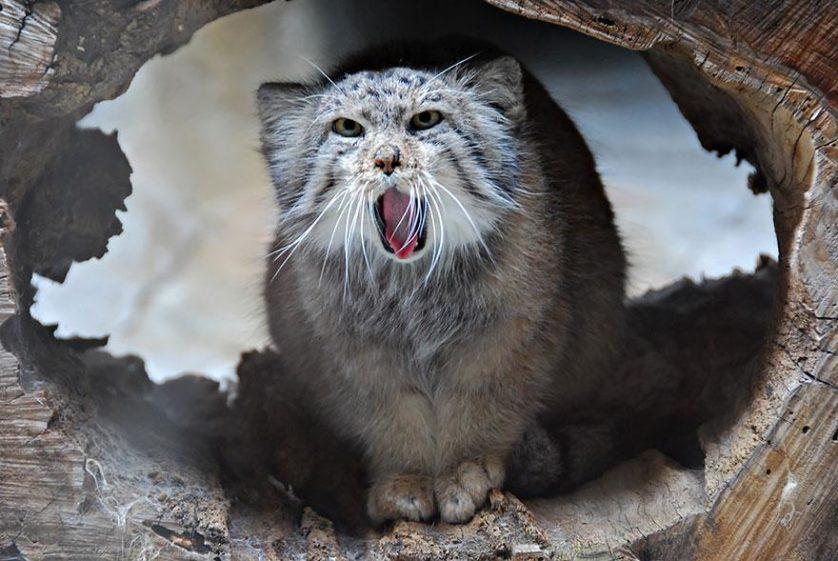 gato-de-pallas felino expressivo (1)