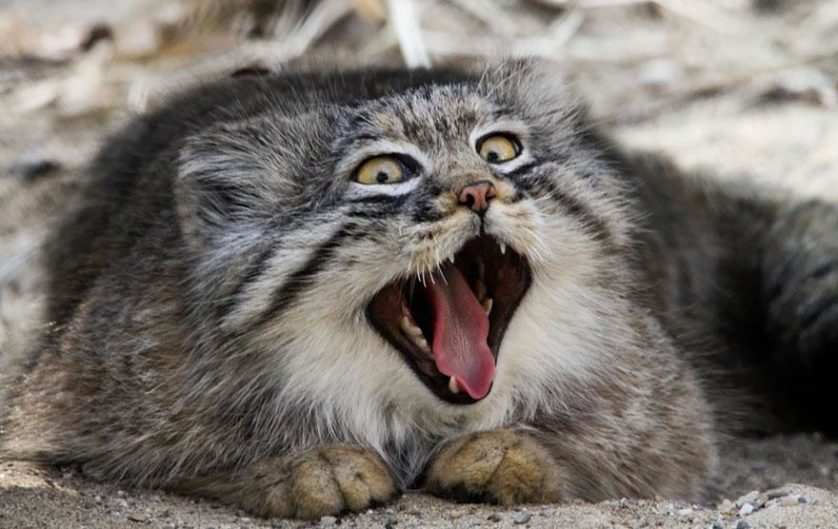 gato-de-pallas felino expressivo (10)