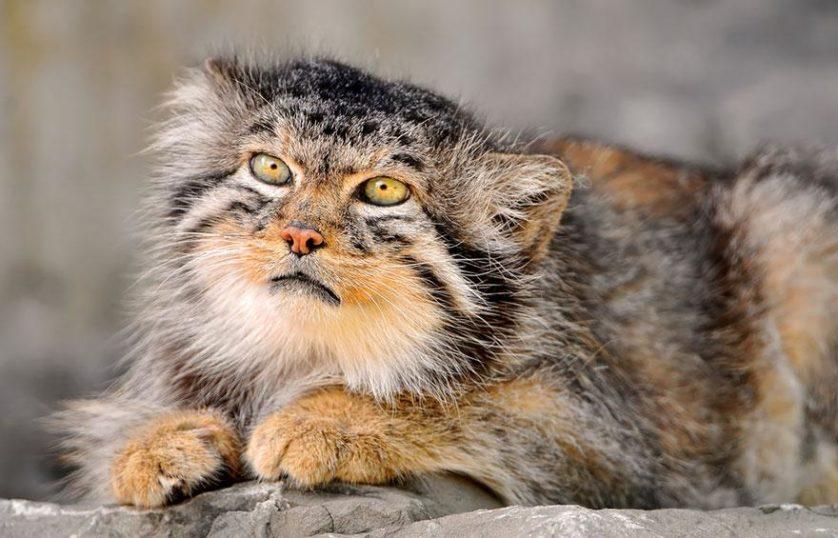 gato-de-pallas felino expressivo (12)
