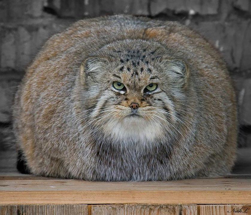 gato-de-pallas felino expressivo (13)