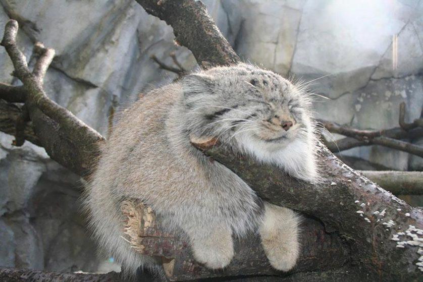 gato-de-pallas felino expressivo (14)