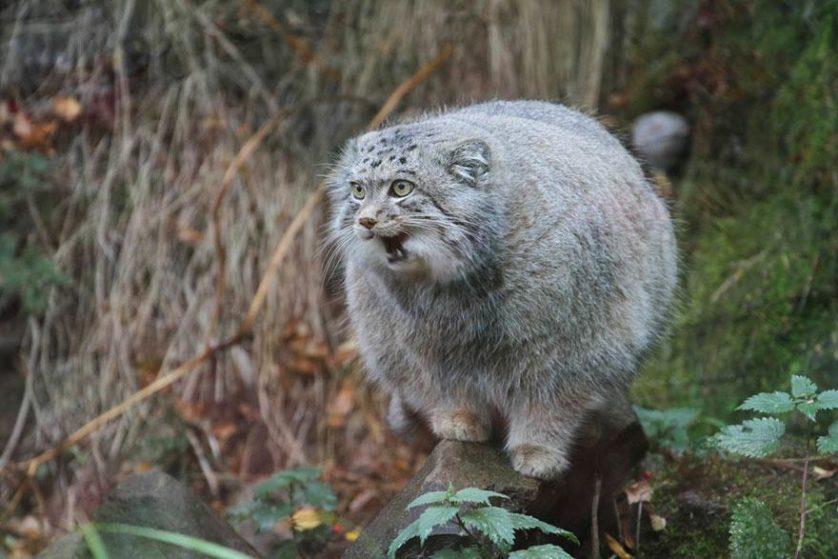gato-de-pallas felino expressivo (15)