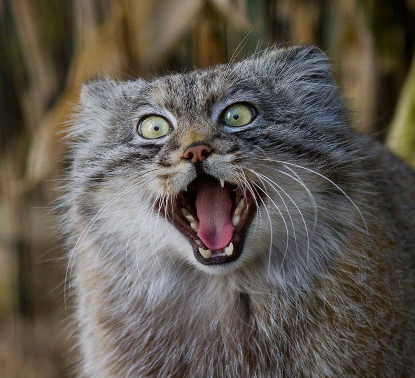 gato-de-pallas felino expressivo (16)