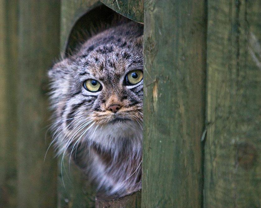 gato-de-pallas felino expressivo (17)
