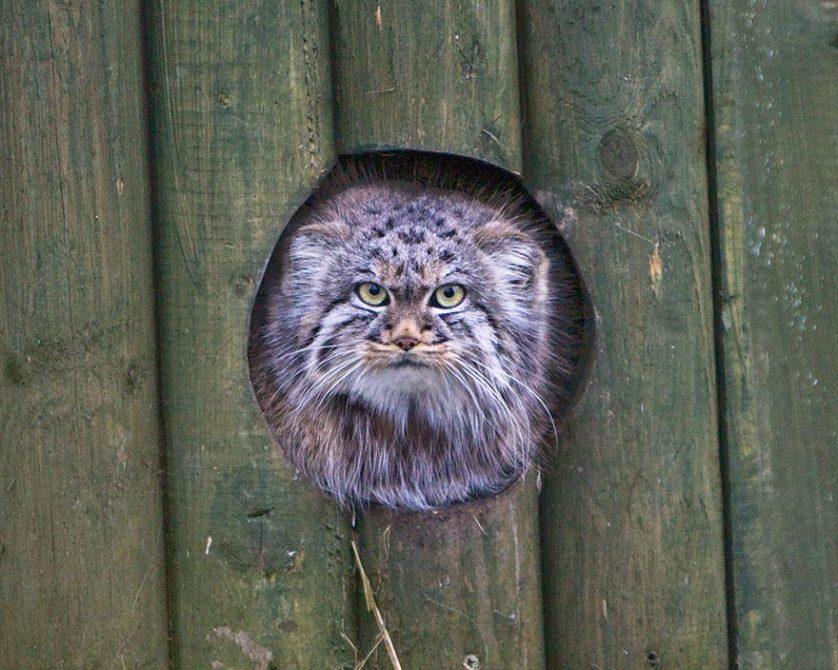 gato-de-pallas felino expressivo (18)