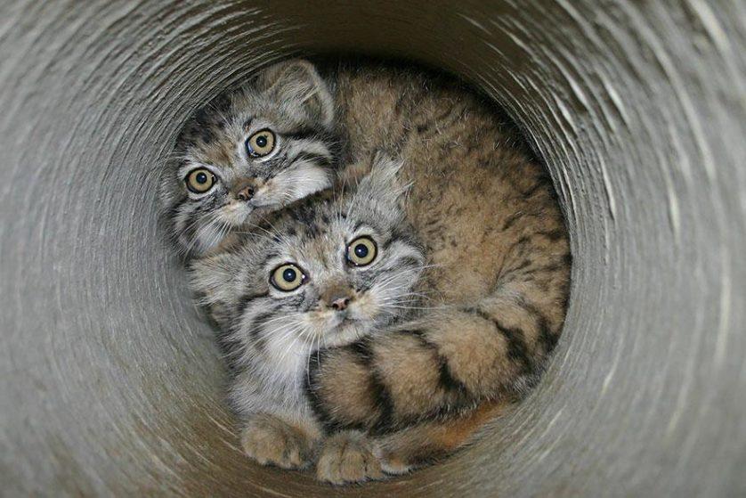 gato-de-pallas felino expressivo (20)
