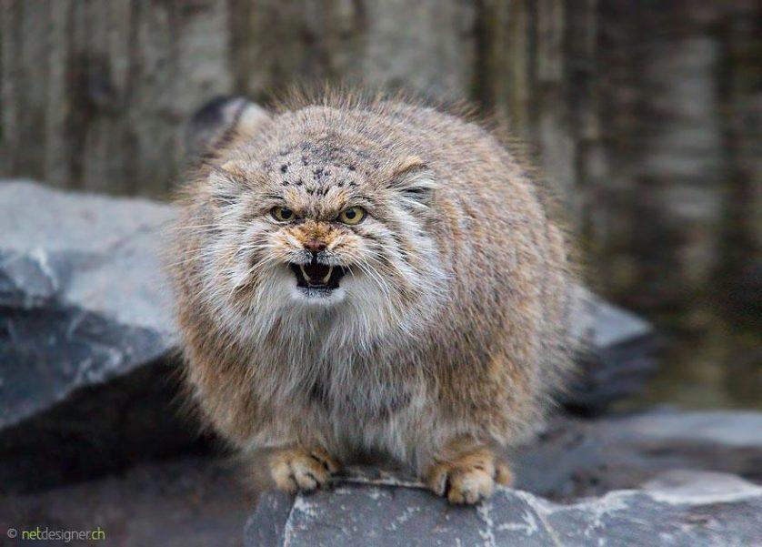 gato-de-pallas felino expressivo (21)
