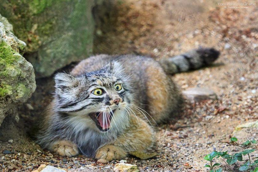 gato-de-pallas felino expressivo (22)