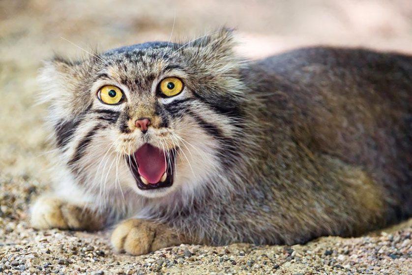 gato-de-pallas felino expressivo (24)