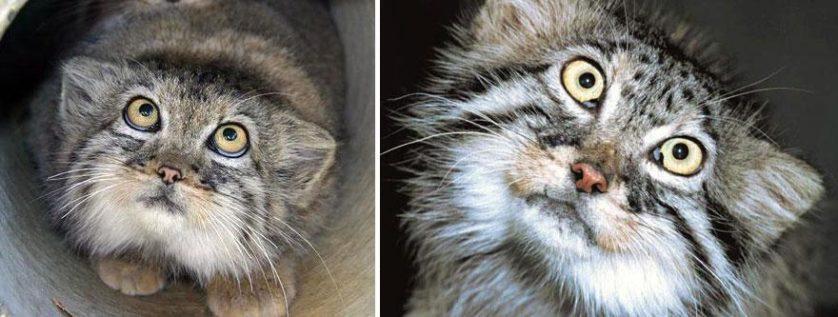gato-de-pallas felino expressivo (25)