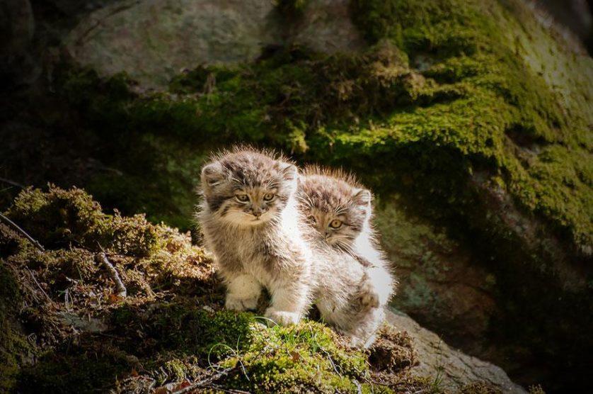 gato-de-pallas felino expressivo (4)
