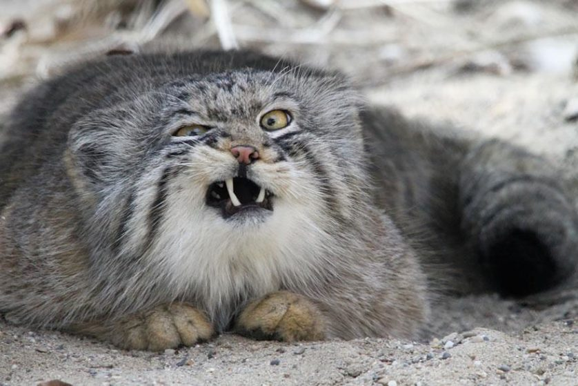gato-de-pallas felino expressivo (5)