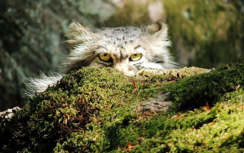 gato-de-pallas felino expressivo (6)