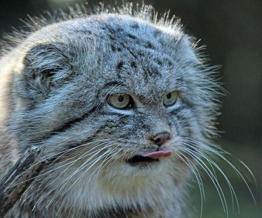 gato-de-pallas felino expressivo (7)
