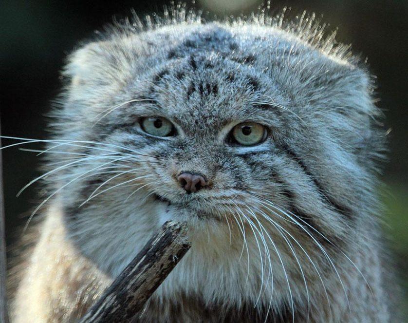 gato-de-pallas felino expressivo (9)