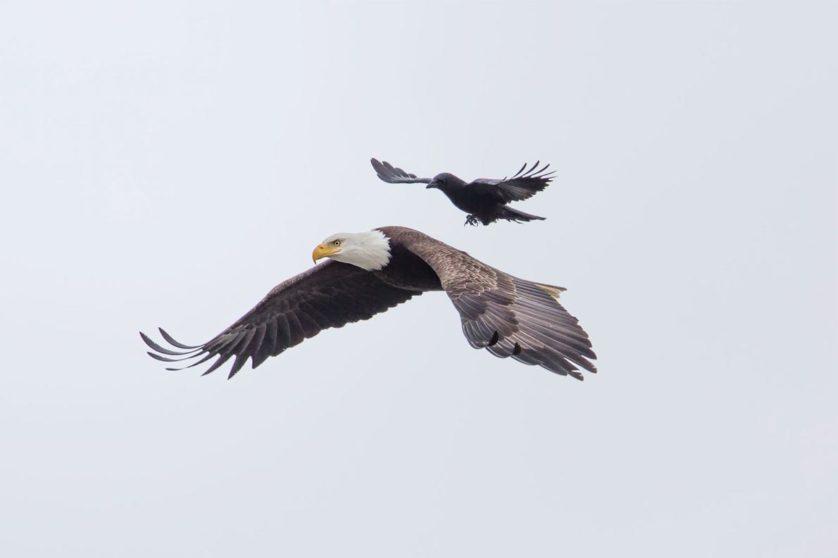 aguia carona corvo (1)