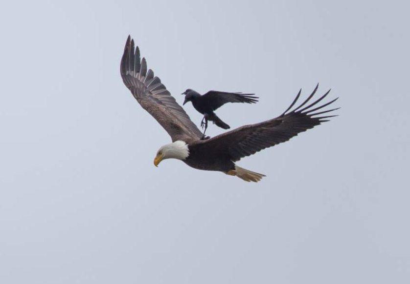 aguia carona corvo (3)