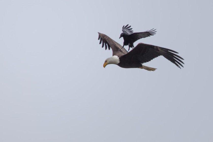 aguia carona corvo (5)