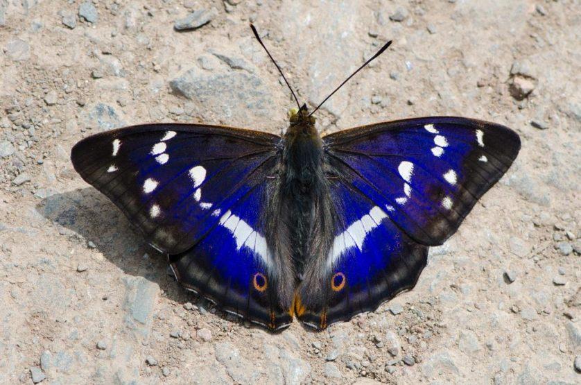 borboleta imperador-roxo (3)
