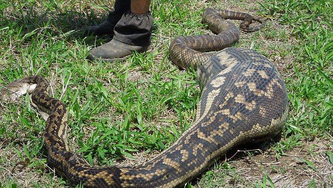 cobras gulosas 1