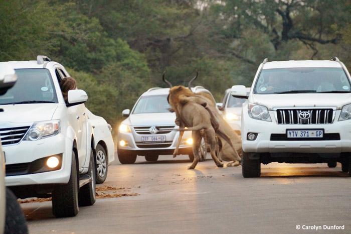 entre carros, leões machos matam um cudu (1)