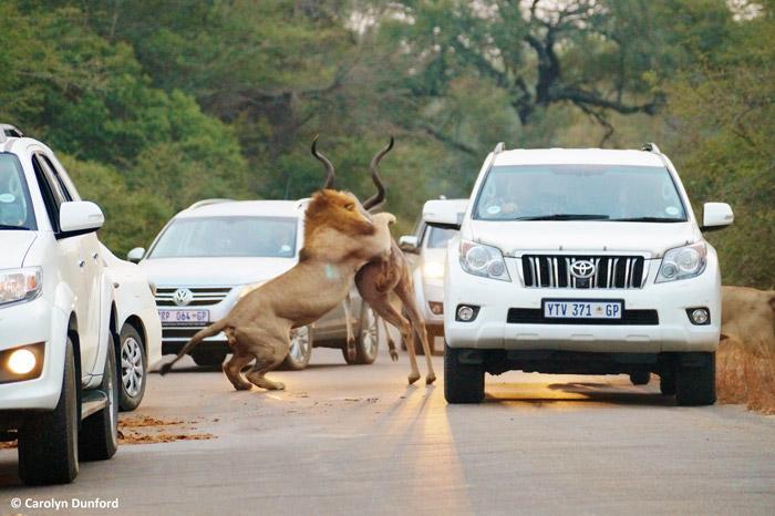 entre carros, leões machos matam um cudu (2)