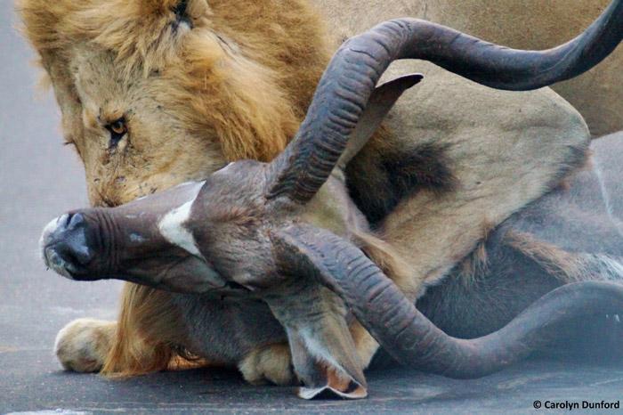 entre carros, leões machos matam um cudu (4)
