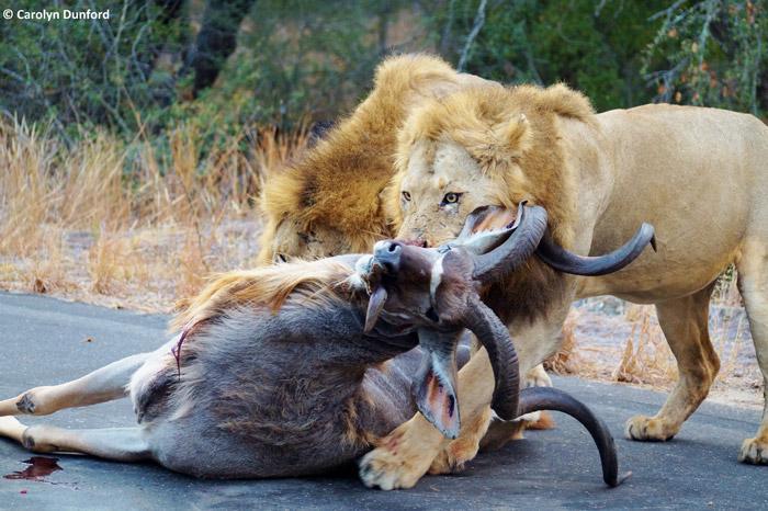entre carros, leões machos matam um cudu (5)