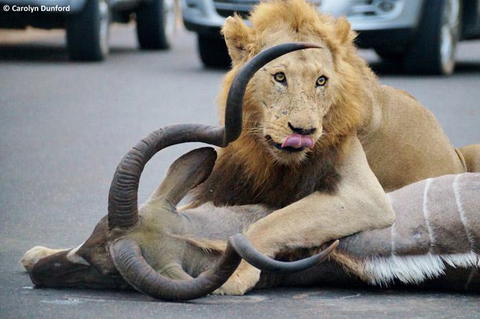 entre carros, leões machos matam um cudu (6)