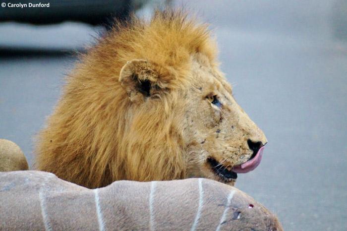 entre carros, leões machos matam um cudu (7)