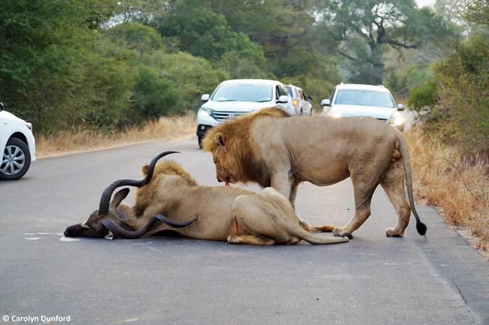 entre carros, leões machos matam um kudu (9)