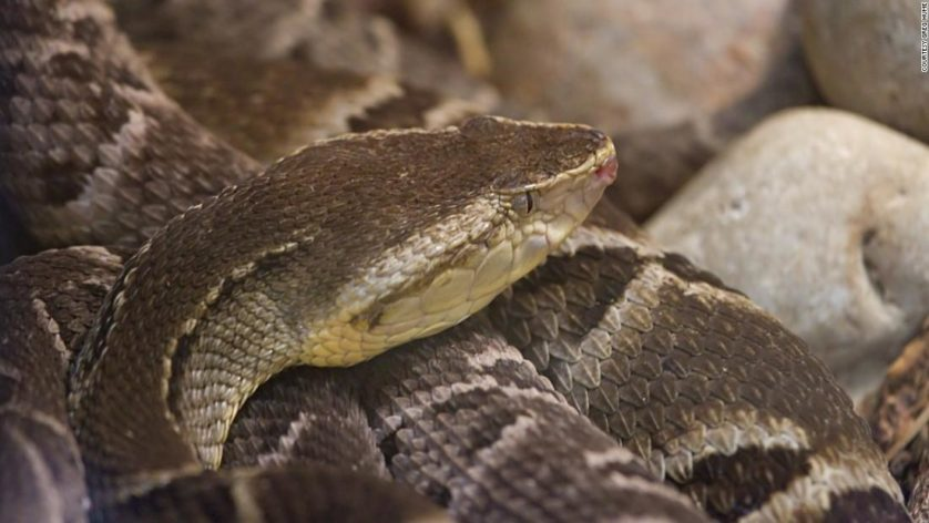 Jararaca-ilhoa veneno de cobra salva vidas