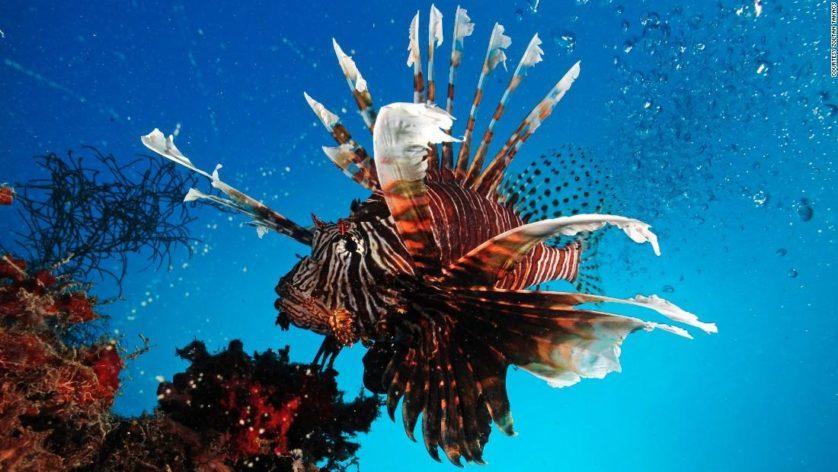 Mais de mil espécies de peixes possuem veneno, como o peixe-leão, mas a maioria não é estudada