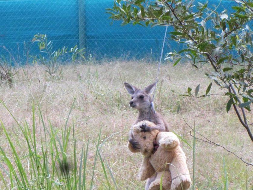 canguru orfao urso pelucia