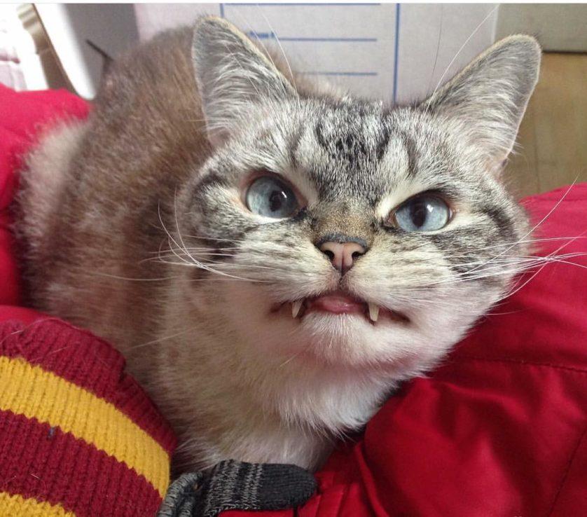 gato vampiro loki (12)