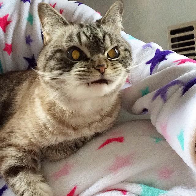 gato vampiro loki (14)