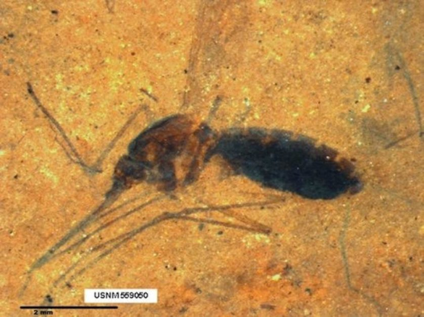 """""""Parque dos Dinossauros"""": mosquito fossilizado cheio de sangue é descoberto"""