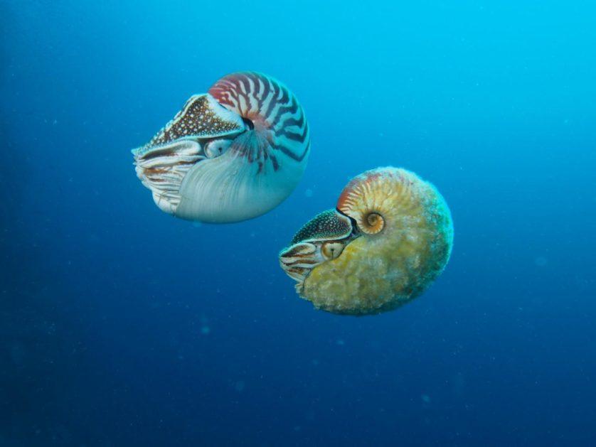 Nautilus pompilius (esquerda) nada próximo ao raro Allonautilus scrobiculatus (direita) na Ilha Ndrova