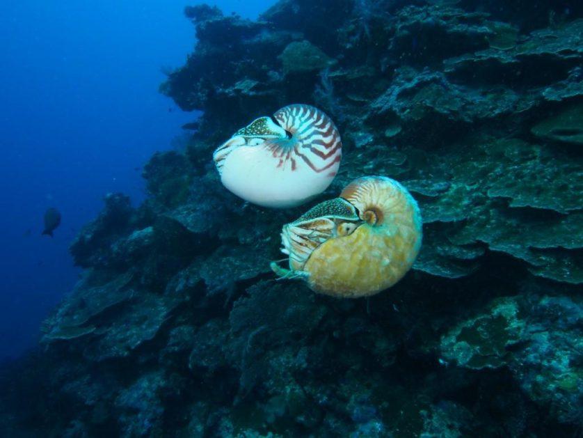 Nautilus pompilius nada acima ao raro Allonautilus scrobiculatus na Ilha Ndrova