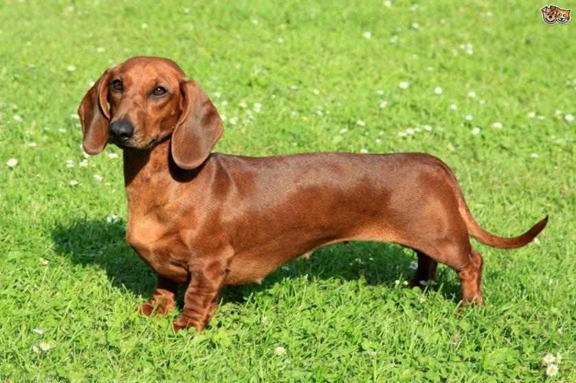 poderes secretos raças de cachorros
