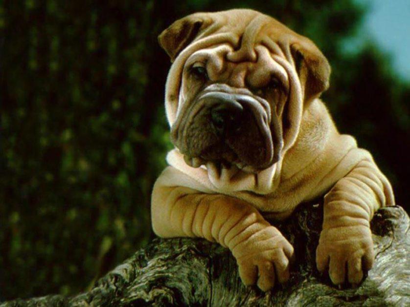 poderes secretos racas de cachorro 3