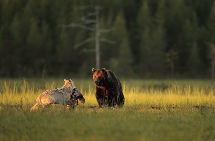 urso e lobo melhores amigos (6)