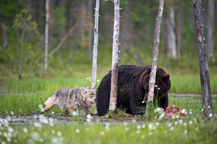 urso e lobo melhores amigos (9)