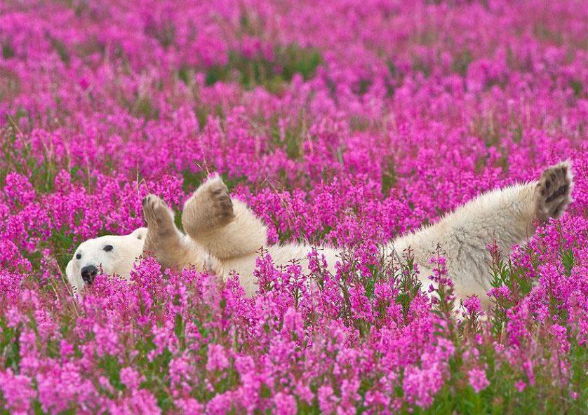 ursos polares primavera (1)