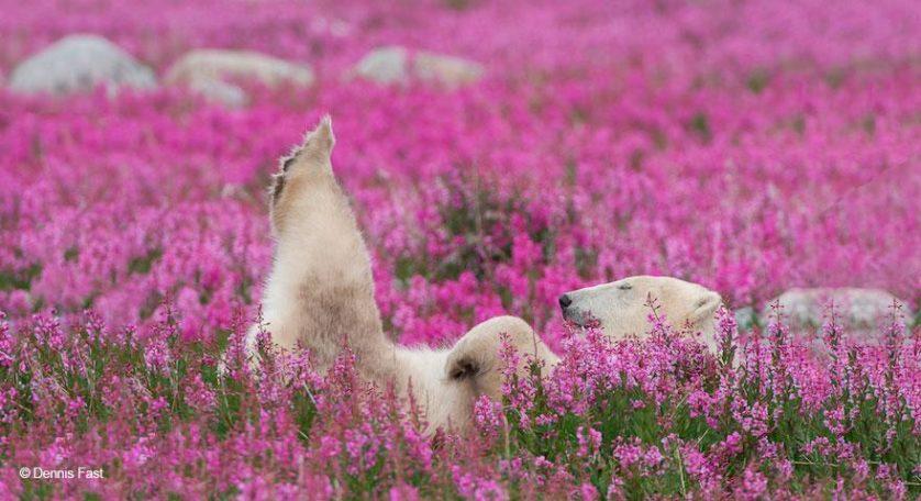 ursos polares primavera (10)