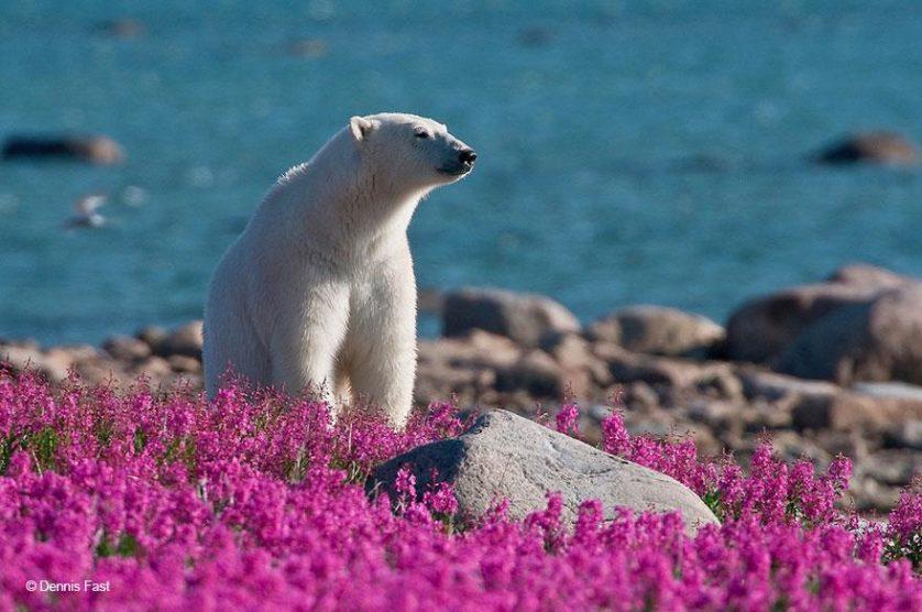 ursos polares primavera (11)